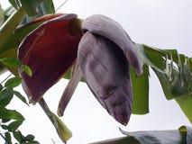 Flor del plátano Fotografía de archivo