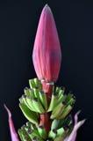 Flor del plátano con las hojas Imagenes de archivo