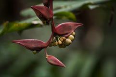 Flor del plátano, Copan, Honduras Imagen de archivo