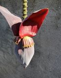 Flor del plátano en tallo imágenes de archivo libres de regalías