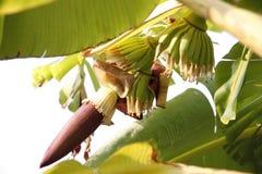 Flor del plátano por mañana. Fotos de archivo libres de regalías