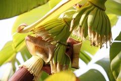 Flor del plátano por mañana. Imagen de archivo
