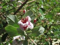 Flor del plantón de frutal de guayaba de piña - California Fotos de archivo libres de regalías