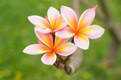 Flor del Plumeria Foto de archivo