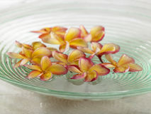 Flor del Plumeria Imagen de archivo libre de regalías