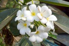 Flor del Plumeria Fotografía de archivo libre de regalías