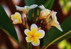 Flor del Plumeria Imágenes de archivo libres de regalías