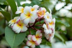 Flor del Plumeria Imagen de archivo