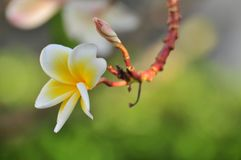 Flor del Plumeria Flor blanca Imagen de archivo