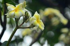 Flor del Plumeria Flor blanca Flores coloridas con descensos del agua después de la lluvia Sol rosada de la flor de la azalea Flo Imagen de archivo