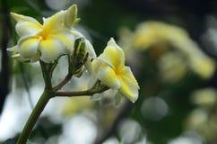 Flor del Plumeria Flor blanca Flores coloridas con descensos del agua después de la lluvia Sol rosada de la flor de la azalea Flo Fotografía de archivo libre de regalías