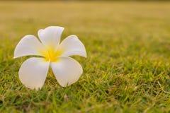 Flor del Plumeria colocada en el césped Foto de archivo