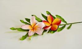 Flor del Plumeria con la hoja verde Fotografía de archivo libre de regalías