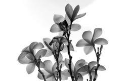 Flor del Plumeria de Asia foto de archivo