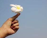 Flor del plumeria del control de la mano Imagen de archivo libre de regalías