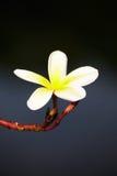 Flor del Plumeria en árbol Imagen de archivo
