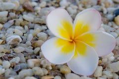 flor del plumeria en el fondo de la tabla Foto de archivo