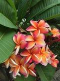 Flor del Plumeria en fragancia de la plena floración plantada en el jardín imagen de archivo libre de regalías