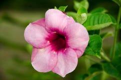 Flor del Plumeria en fragancia de la plena floración plantada en el jardín Fotos de archivo