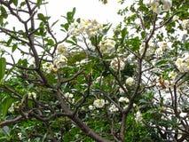 Flor del Plumeria en jardín Fotos de archivo