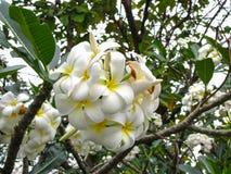 Flor del Plumeria en jardín Foto de archivo libre de regalías