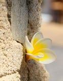 Flor del Plumeria en la pared de piedra Imagen de archivo libre de regalías