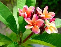 Flor del Plumeria en la planta en luz del sol Imagenes de archivo