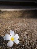 Flor del Plumeria en las escaleras Imagenes de archivo