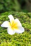 Flor del Plumeria en musgo verde Imagenes de archivo