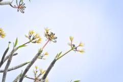 Flor del Plumeria o árbol y cielo de templo foto de archivo