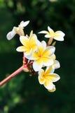 flor del plumeria o del frangipanni Imágenes de archivo libres de regalías