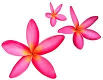 Flor de tres Frangipani aislada en el fondo blanco Foto de archivo