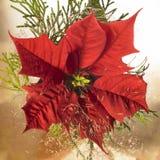 Flor del Poinsettia Imagen de archivo