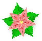 Flor del Poinsettia Foto de archivo libre de regalías