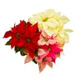 Flor del Poinsettia - estrella de la Navidad Fotografía de archivo libre de regalías