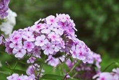 Flor del polemonio Foto de archivo libre de regalías