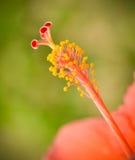 Flor del polen Foto de archivo libre de regalías