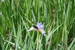 Flor del pollinationg de Valga del Xylocopa del iris de la mariposa Foto de archivo