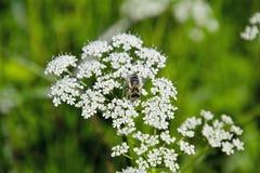 Flor del prado con la abeja Imágenes de archivo libres de regalías