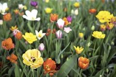 flor del prado de los tulipanes de la primavera en Moscú imagen de archivo
