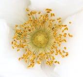 Flor del primer Fotografía de archivo