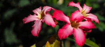 Flor del primer, adenium rojo Fotografía de archivo