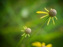 Flor del primer amarillo del caltha Fotografía de archivo libre de regalías