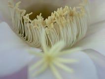 Flor del primer del cactus Fotografía de archivo