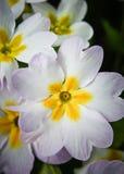 Flor del Primula Fotografía de archivo