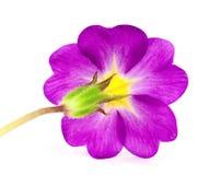 Flor del Primula Fotografía de archivo libre de regalías