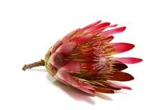 Flor del Protea Imagenes de archivo