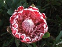 Flor del Protea Imágenes de archivo libres de regalías