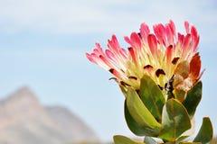 Flor del Protea Imagen de archivo libre de regalías