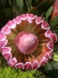 Flor del Protea Fotografía de archivo